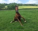 Same konie