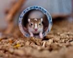 Hodowla myszoskoczków 'CASUS'