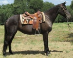 Babe-Tennessee Walker